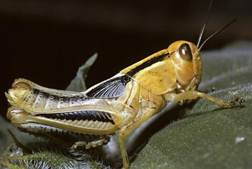 makan belalang